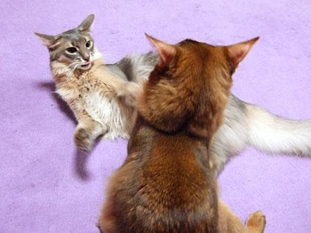 ソマリ子猫バトル