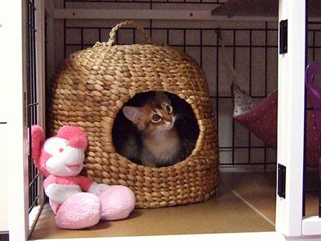 猫ちぐらに隠れるソマリ