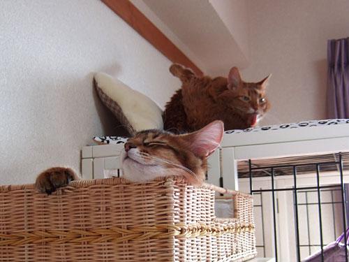 漫才コンビのような猫