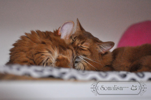 ソマリ 猫 らぴるき