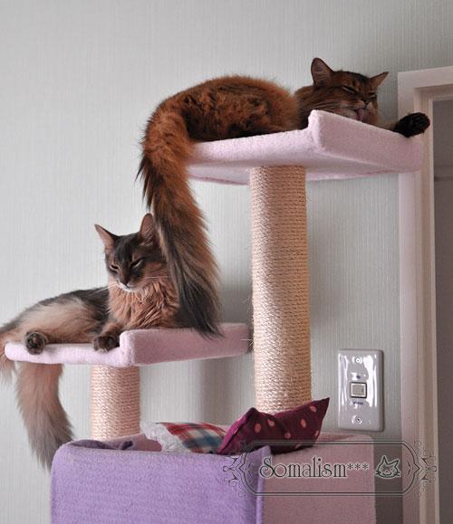 ソマリ 猫 りのれあ