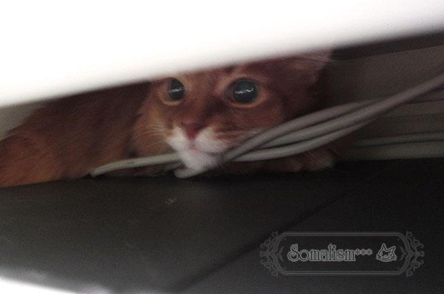 ソマリ 猫 らぴ