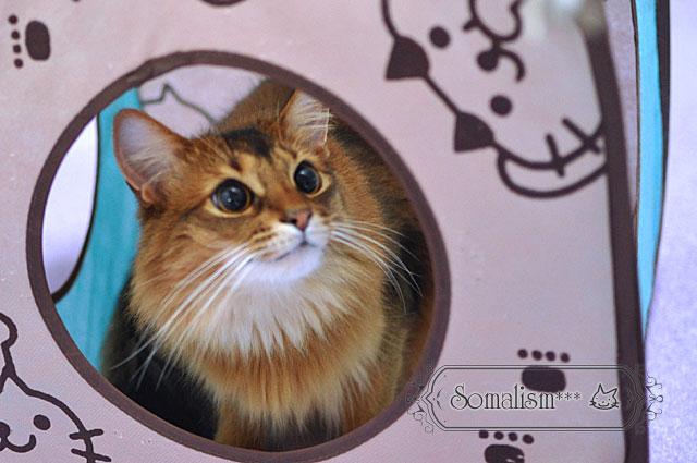 ソマリ猫れある