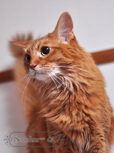 ソマリ 猫 るな