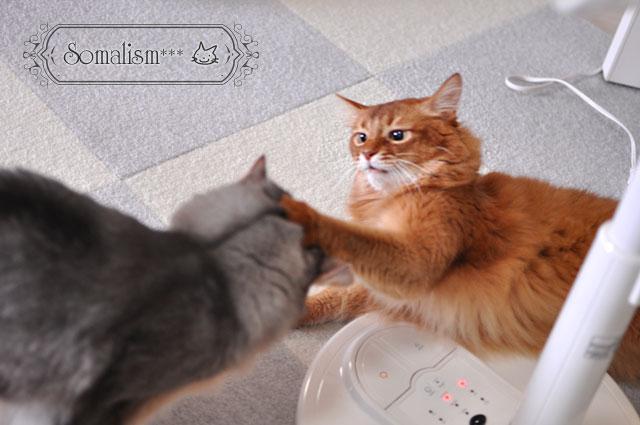 ソマリ 猫 らぴりの