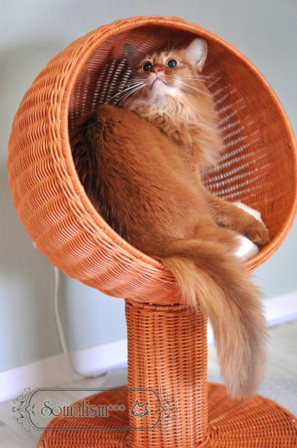 ソマリ 猫 るきあ