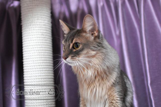 ソマリ 猫 りの