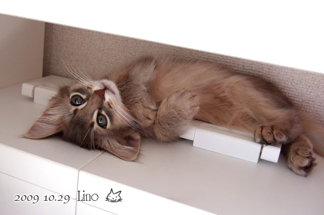 ソマリ 子猫 りの