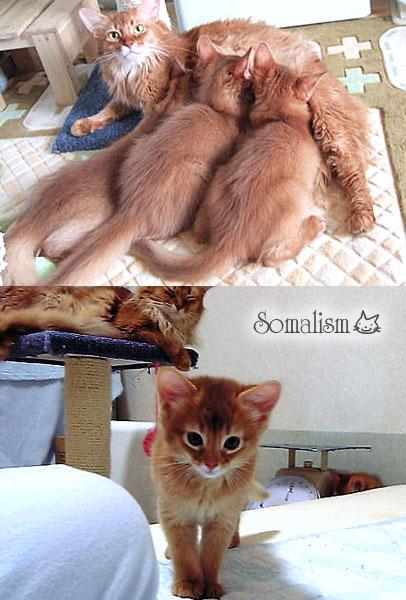 ソマリ ママと子猫