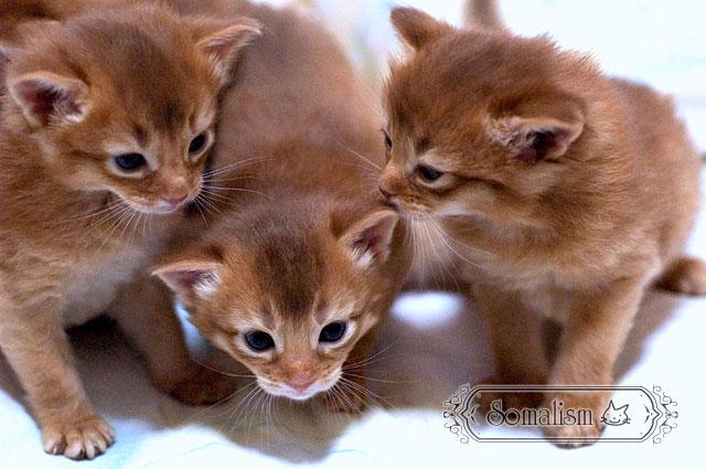 ソマリの子猫