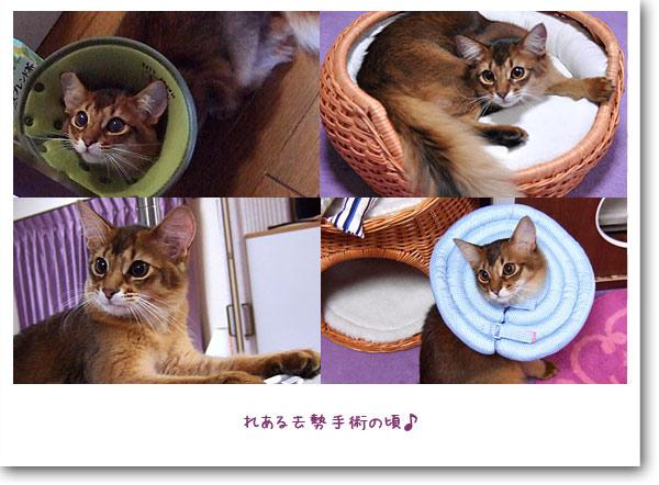 ソマリの子猫レアル