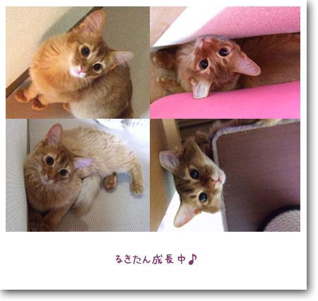 ソマリの子猫ルキア