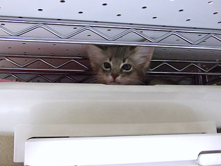 ソマリの子猫リノ