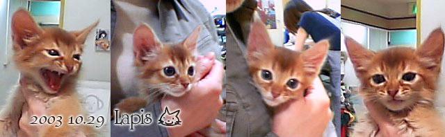 ソマリの子猫ラピス