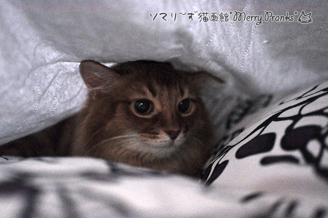 ベッドカバー潜りが大好きな猫