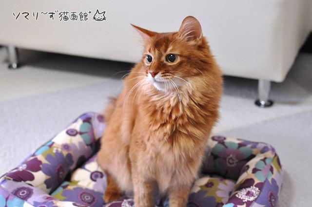 誇らしげなソマリ猫