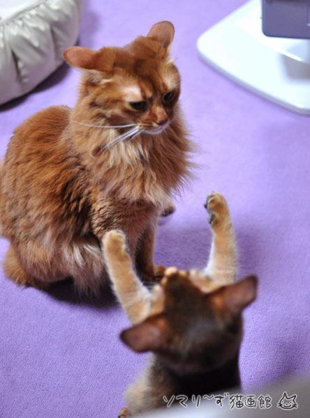 姉を威嚇する子猫