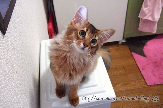 ソマリの子猫リッカ
