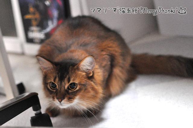 ソマリ猫レアル
