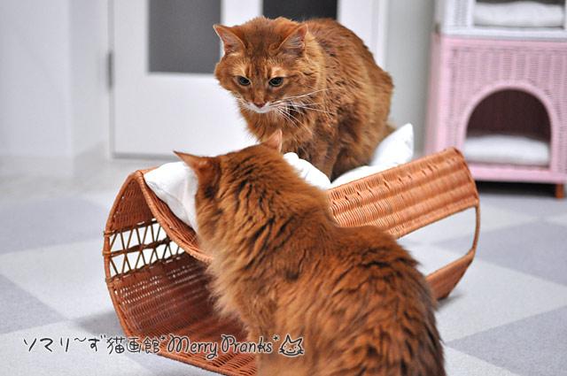 ソマリの姉妹猫