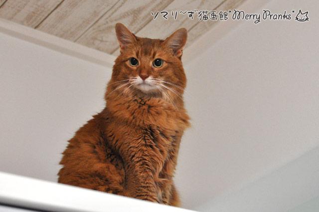 ムッとするソマリ猫