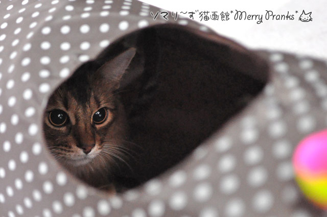 ソマリ猫のレアル