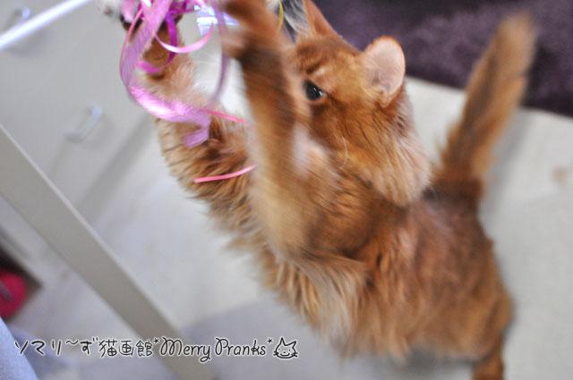 猫じゃらしで遊ぶソマリ