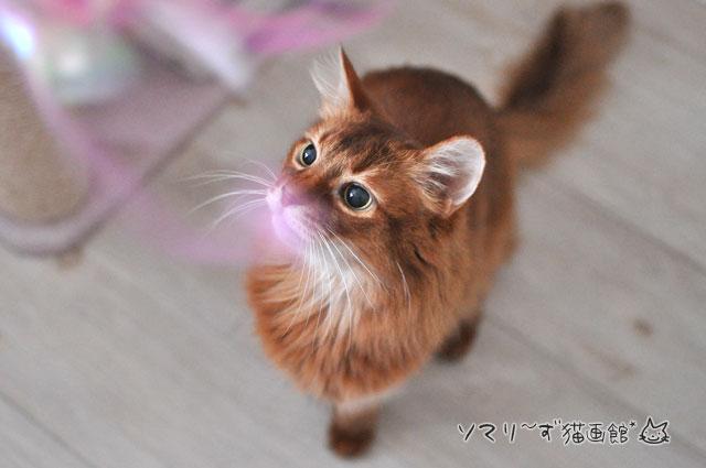 猫ジャラシで遊ぶ