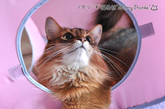 ご機嫌なソマリ猫