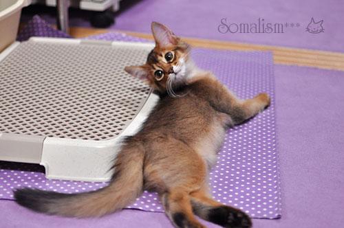 ソマリの子猫レアル2