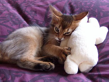 ソマリの子猫レアル4
