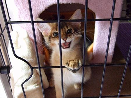 ソマリの子猫レアル3
