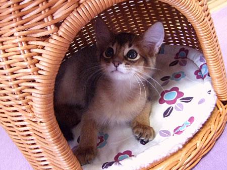 ソマリの子猫レアル5