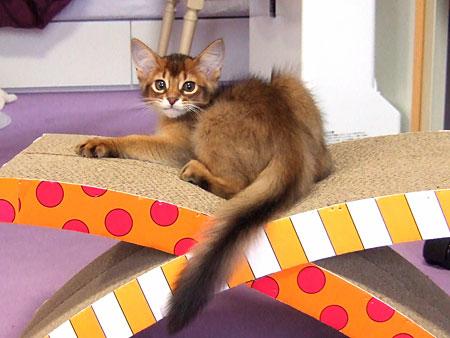 ソマリの子猫レアル1