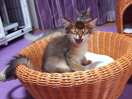 ソマリの子猫6