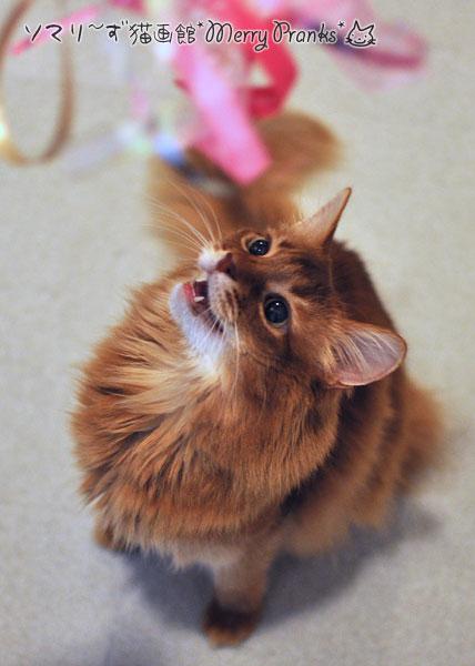 猫ジャラシで遊ぶラピ