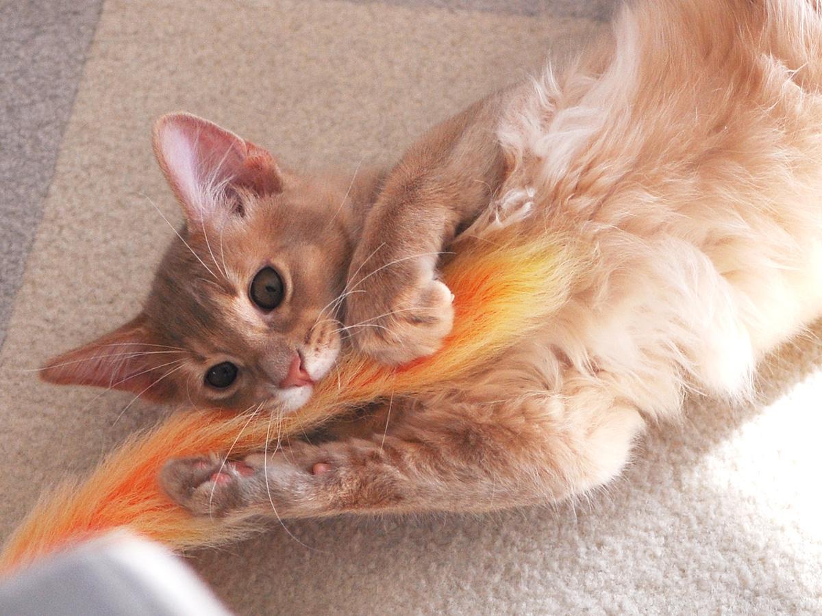 ソマリの子猫ラウラ2