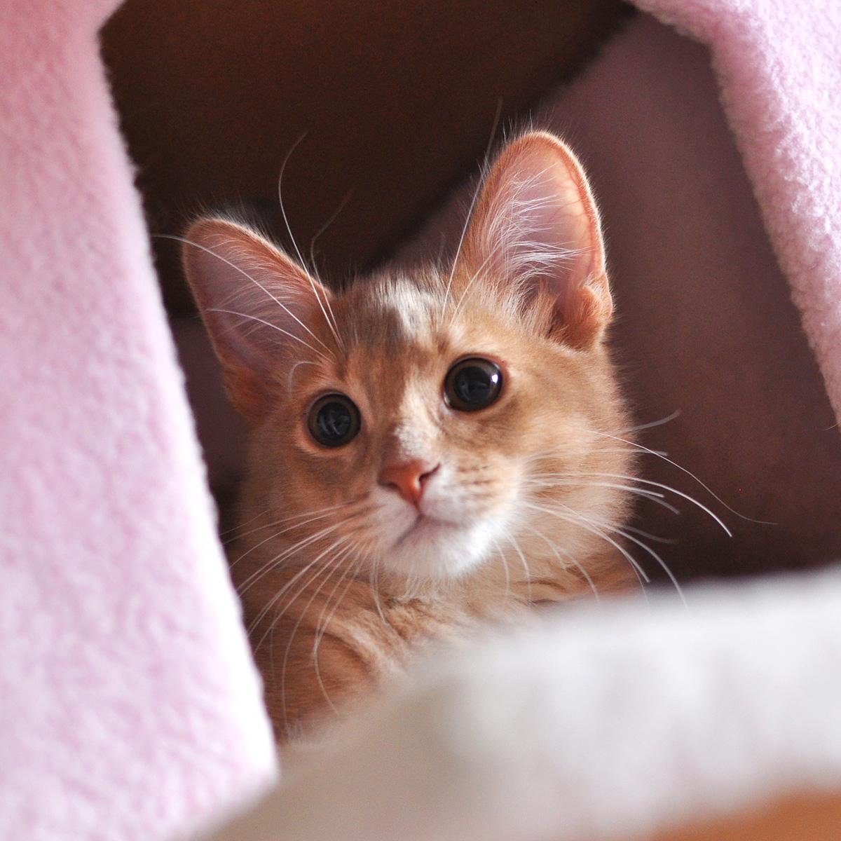 ソマリの子猫ラウラ3