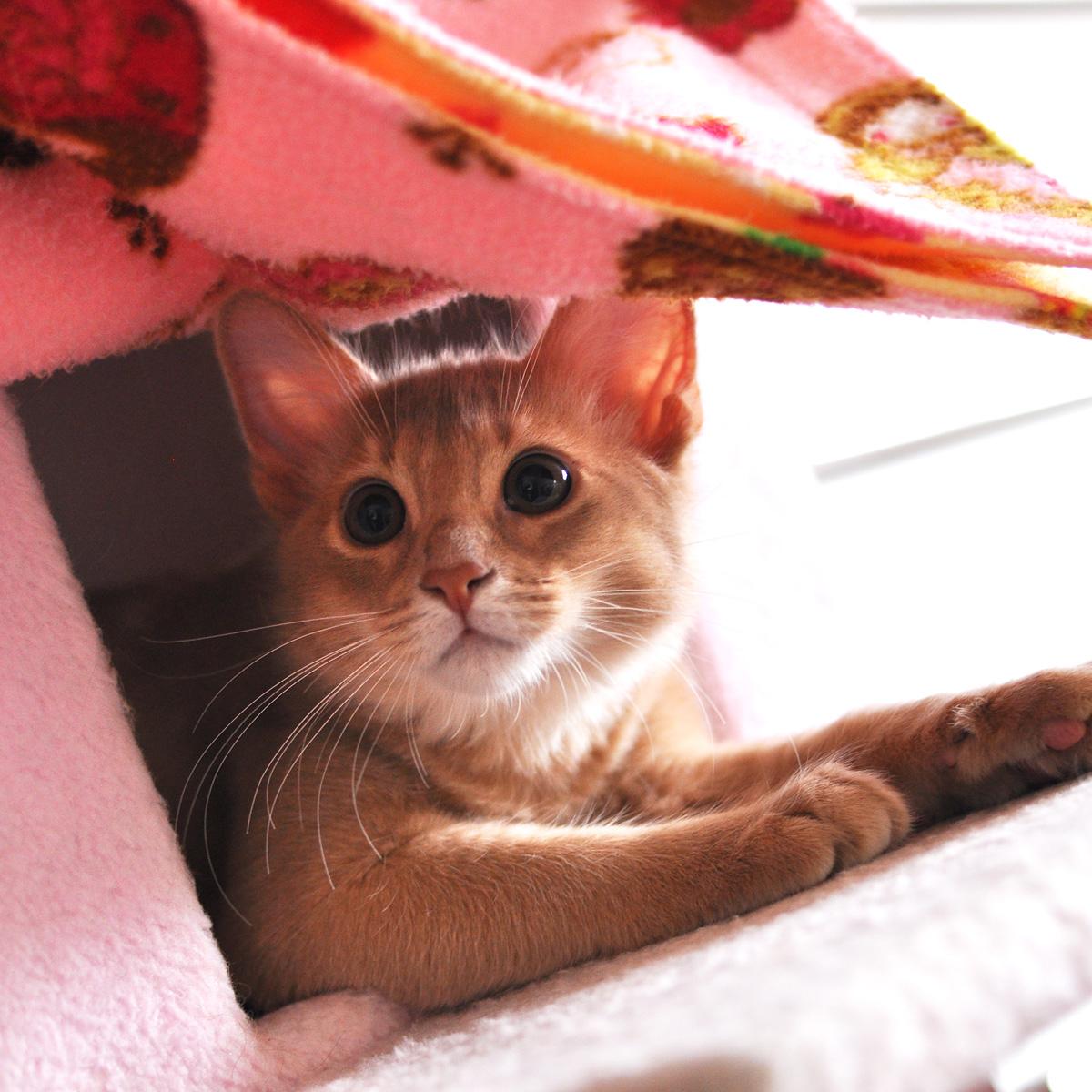 ソマリの子猫ラウラ4