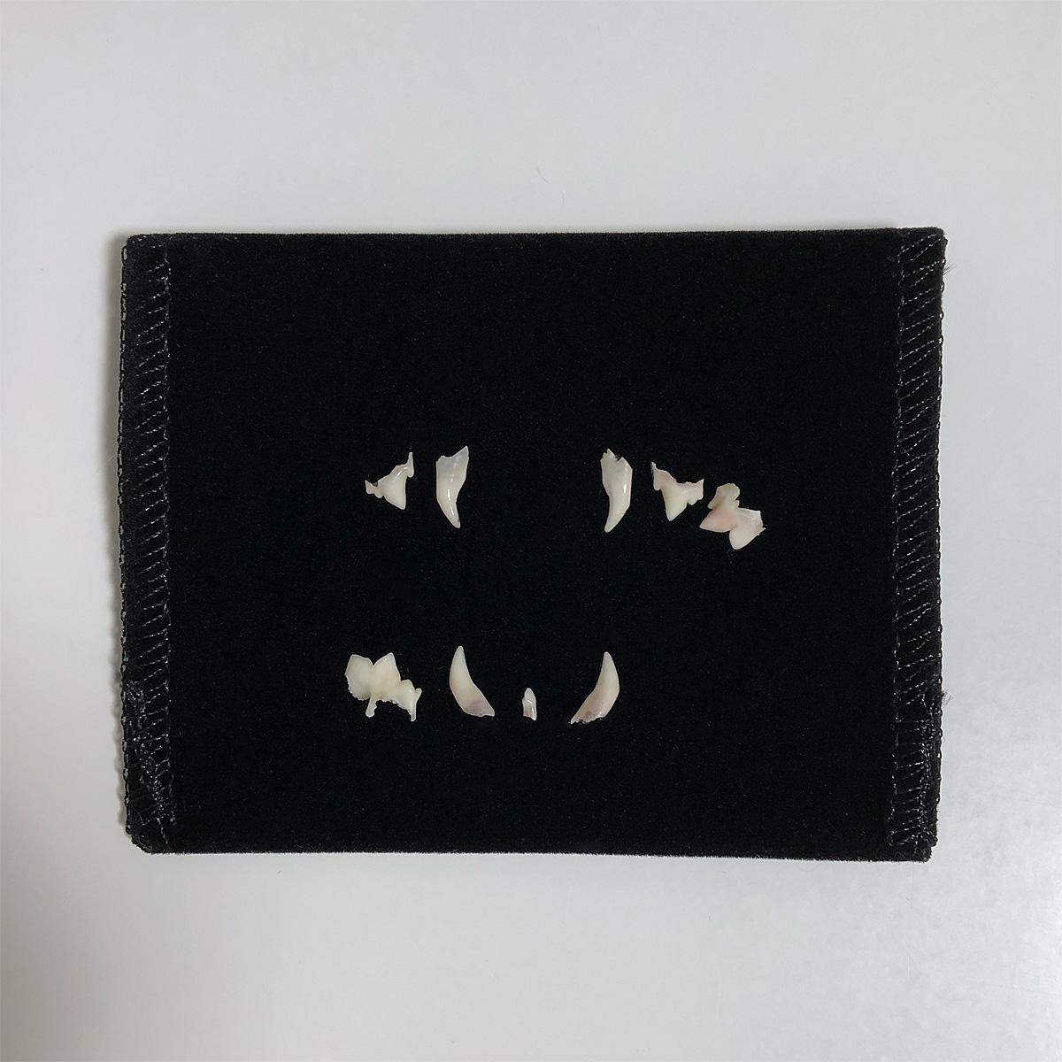 ラウラの乳歯