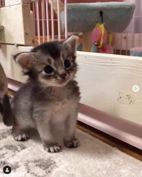 ブラックシルバーソマリの子猫