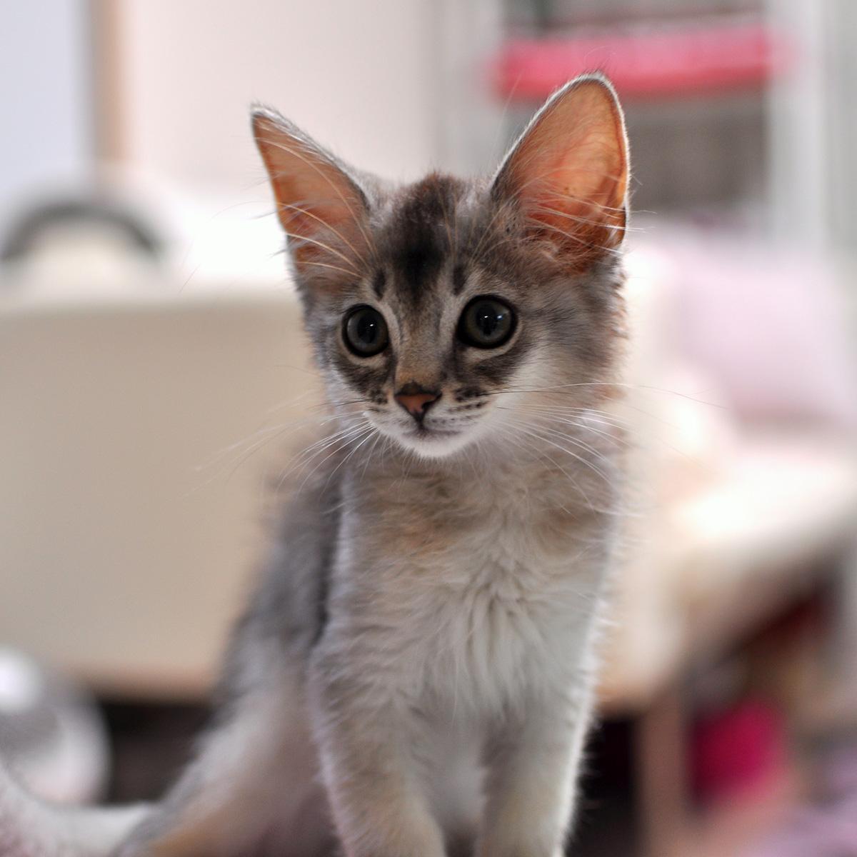 ソマリの子猫ラト1