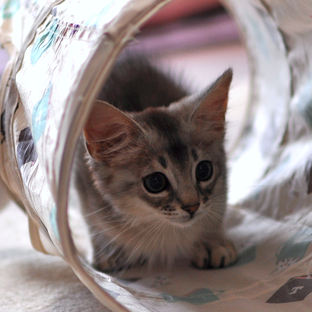 ソマリの子猫ラト2