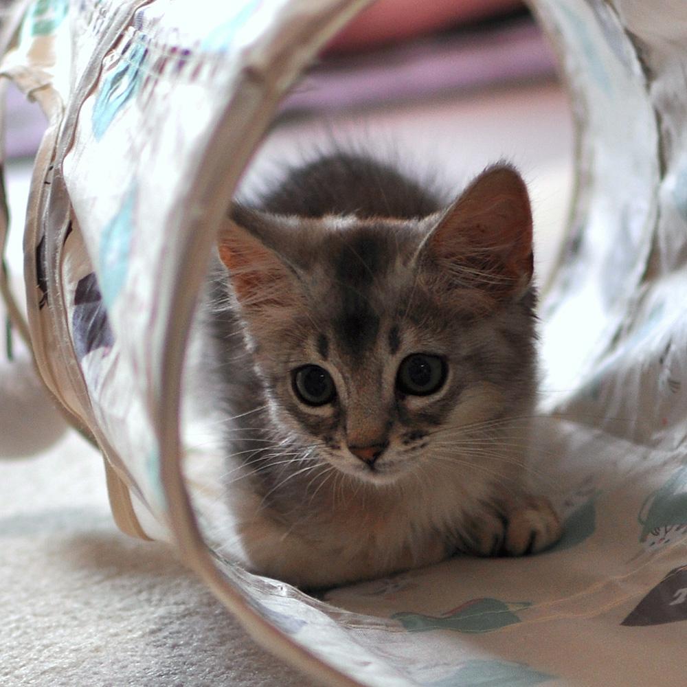 ソマリの子猫ラト3