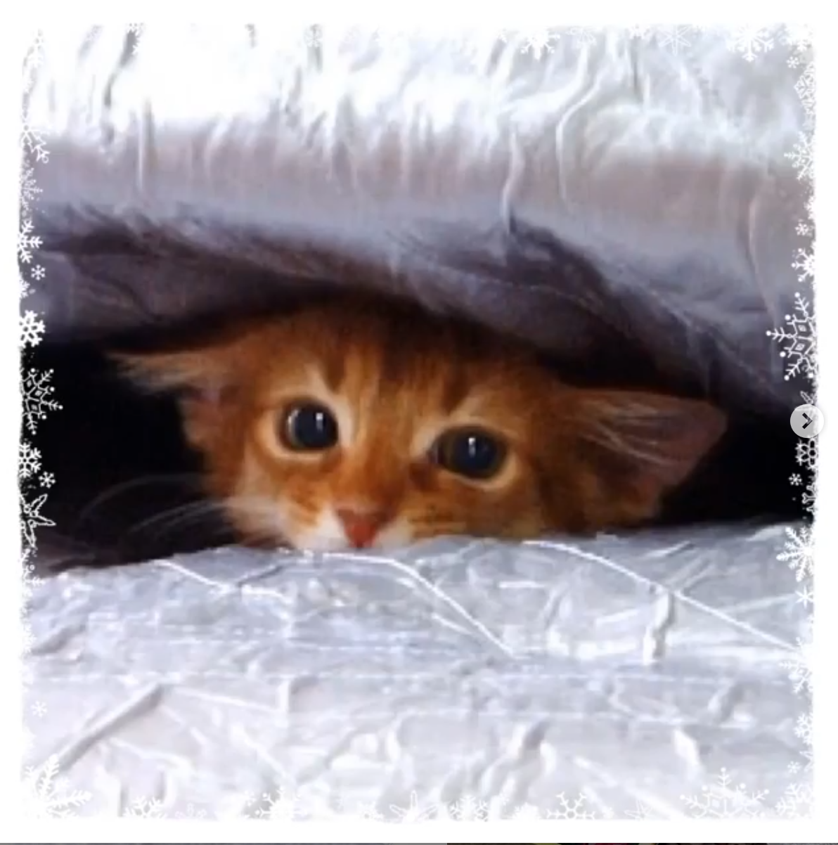 ソマリの子猫ラピ