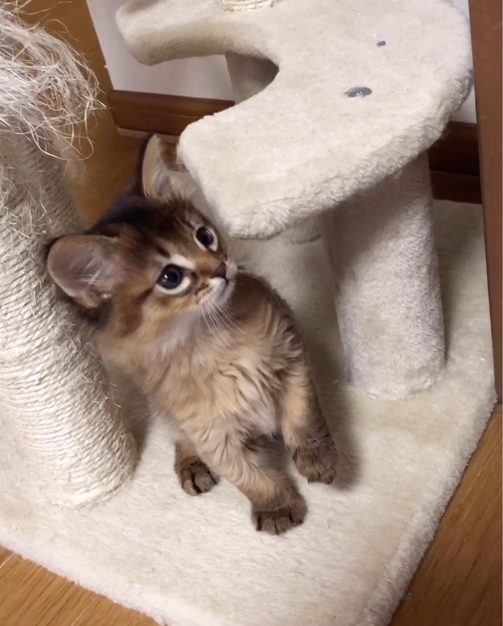 シルバーソマリの子猫