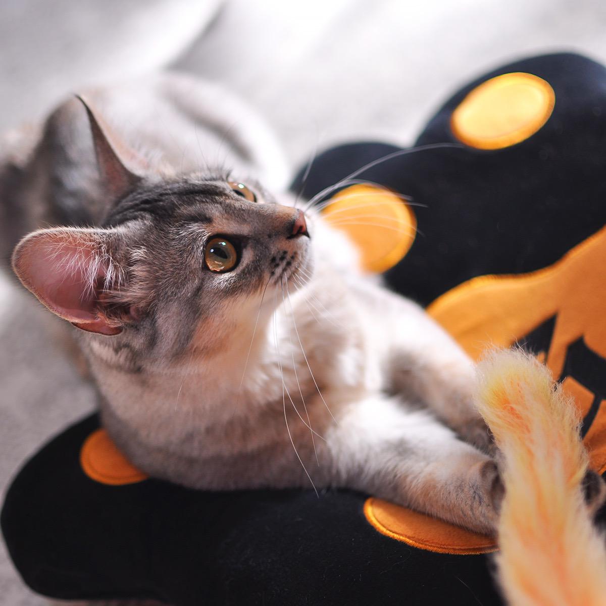 ソマリの子猫ラト