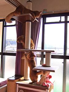 キャットタワーで遊ぶソマリ達