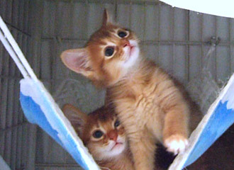 ソマリ レッドの子猫たち(Lucia)