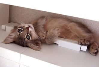 ソマリの子猫(Lino)